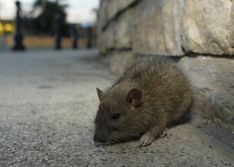 Le quartier des Moulins, à l'ouest de Nice, est envahi par d'énormes rats depuis des mois.
