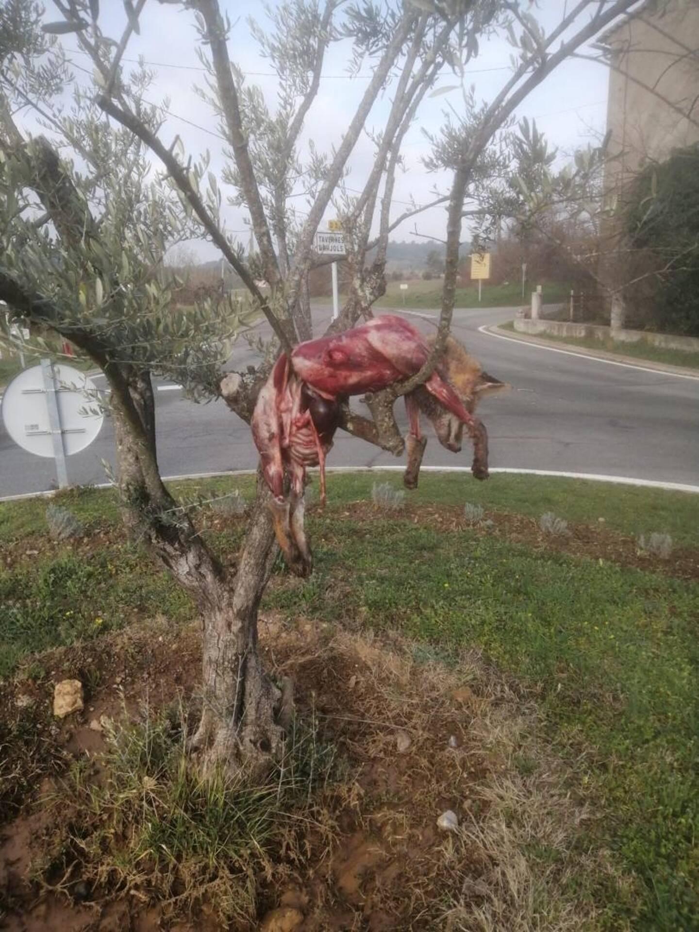 L'animal dépecé a été découvert accroché à un arbre ce vendredi matin.