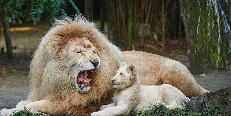 Jabu, le lion blanc du zoo blanc de la Flèche.