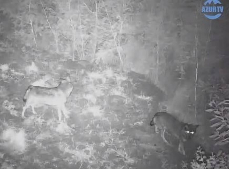 Deux loups aperçus sur un domaine privé à Mandelieu.