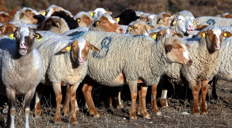 Un troupeau de brebis a été décimé par le loup.