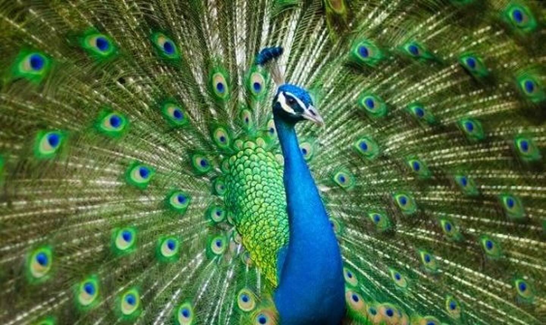 Le paon est un animal originaire des forêts d'Asie.