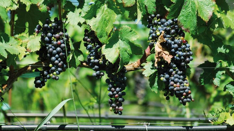 Avec l'élévation des températures, la vigilance est de mise pour irriguer la vigne avec les bonnes méthodes.