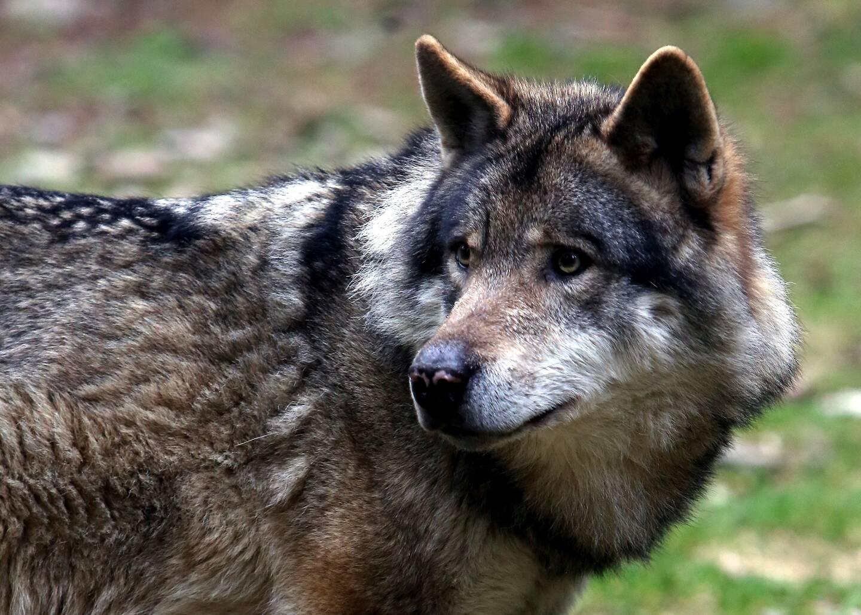 Un loup gris d'Europe.