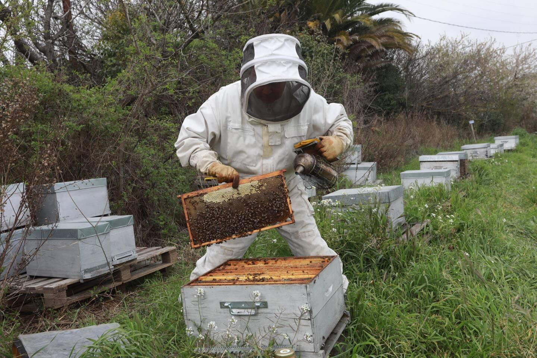 Vous pouvez parrainer des ruches, c'est le cas de celles d'Yvon Torcat, en hivernage à Hyères.