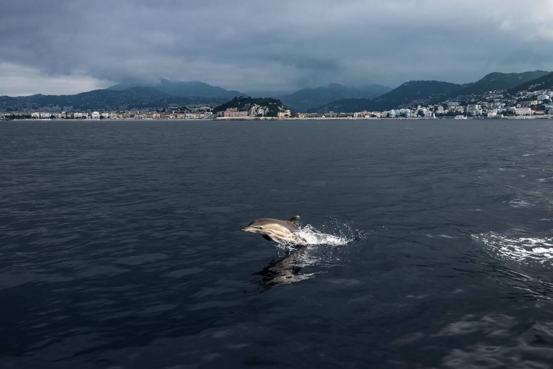 Depuis les années quatre-vingt, les dauphins communs se font plus rares, au large des côtes niçoises.