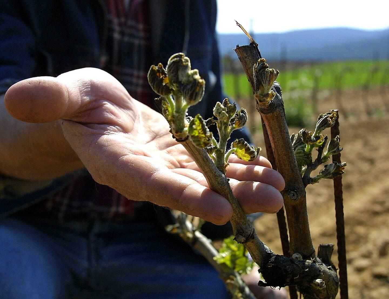 Une grande partie du vignoble a été touchée, les dégâts sont en cours d'évaluation.