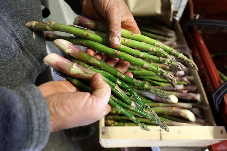 Dans la main gauche de Philippe Auda, des asperges, vert clair et fermes, cueillies mercredi et dans la droite, celles ramassées hier, qui sont foncées et toutes molles à cause du gel.
