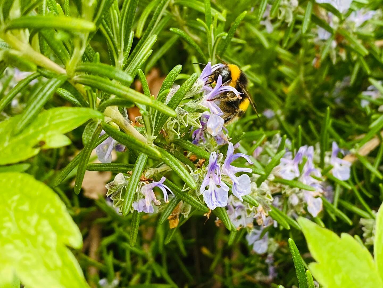Le romarin est une aromatique mellifère, locale, et qui fleurit longtemps. (Photo L. M.)