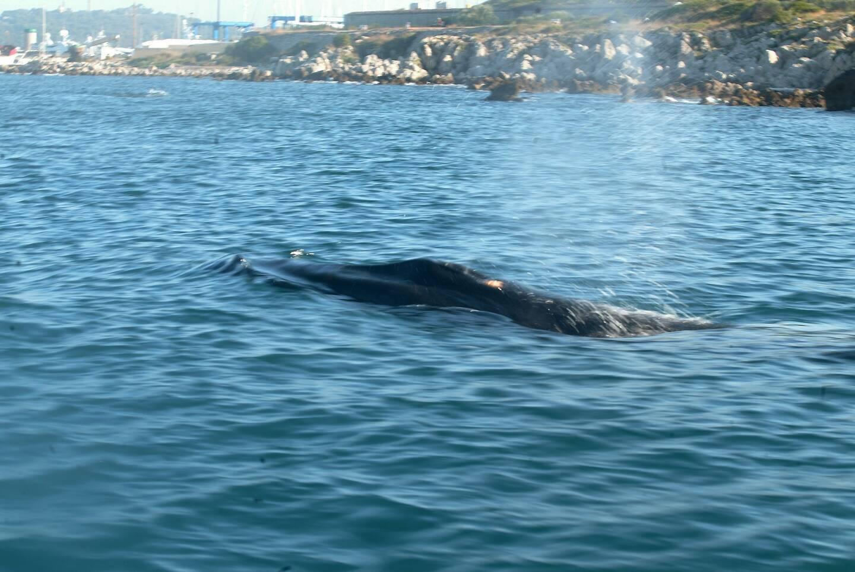 Le baleineau fait une tournée remarquée le long des côtes azuréennes, puis varoises.