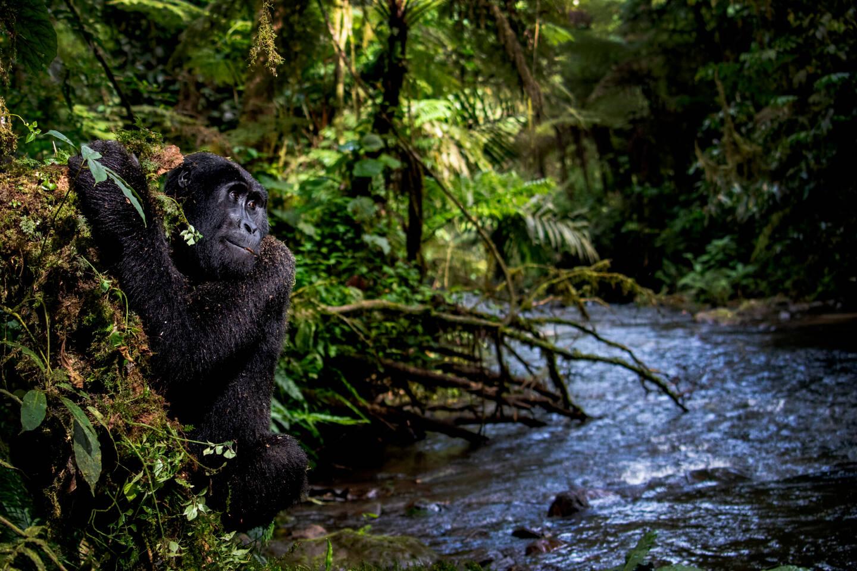 """""""Gorilla by the water"""", cette photographie de Kathleen Ricker a remporté le Grand Prix du jury."""