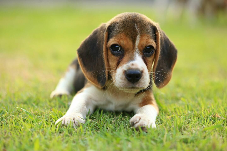 'est un chien de la même race, un beagle de 8 mois, qui a trouvé la mort sous les coups de son maître. Le jeune homme l'avait acheté sur le site LeBonCoin. (Illustration association Stéphane Lamart)