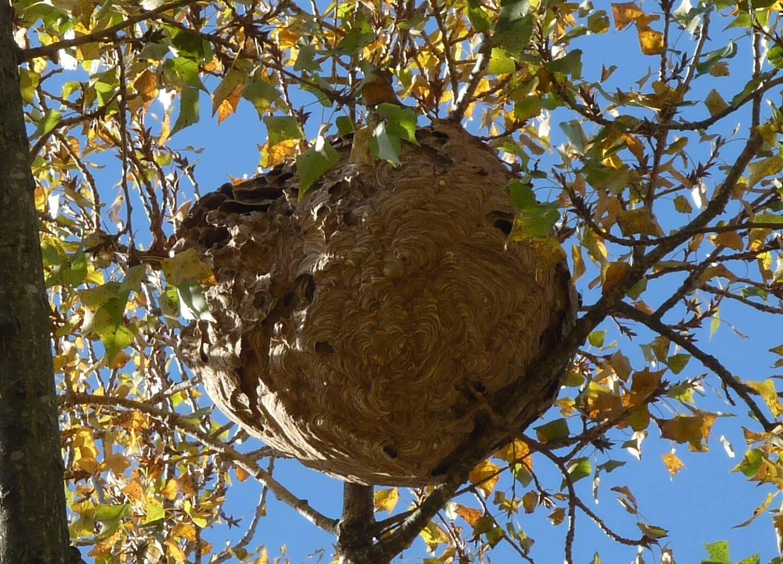 Entraînant des risques sanitaires, ces hyménoptères sont classés ''espèces exotiques envahissantes et nuisibles''.