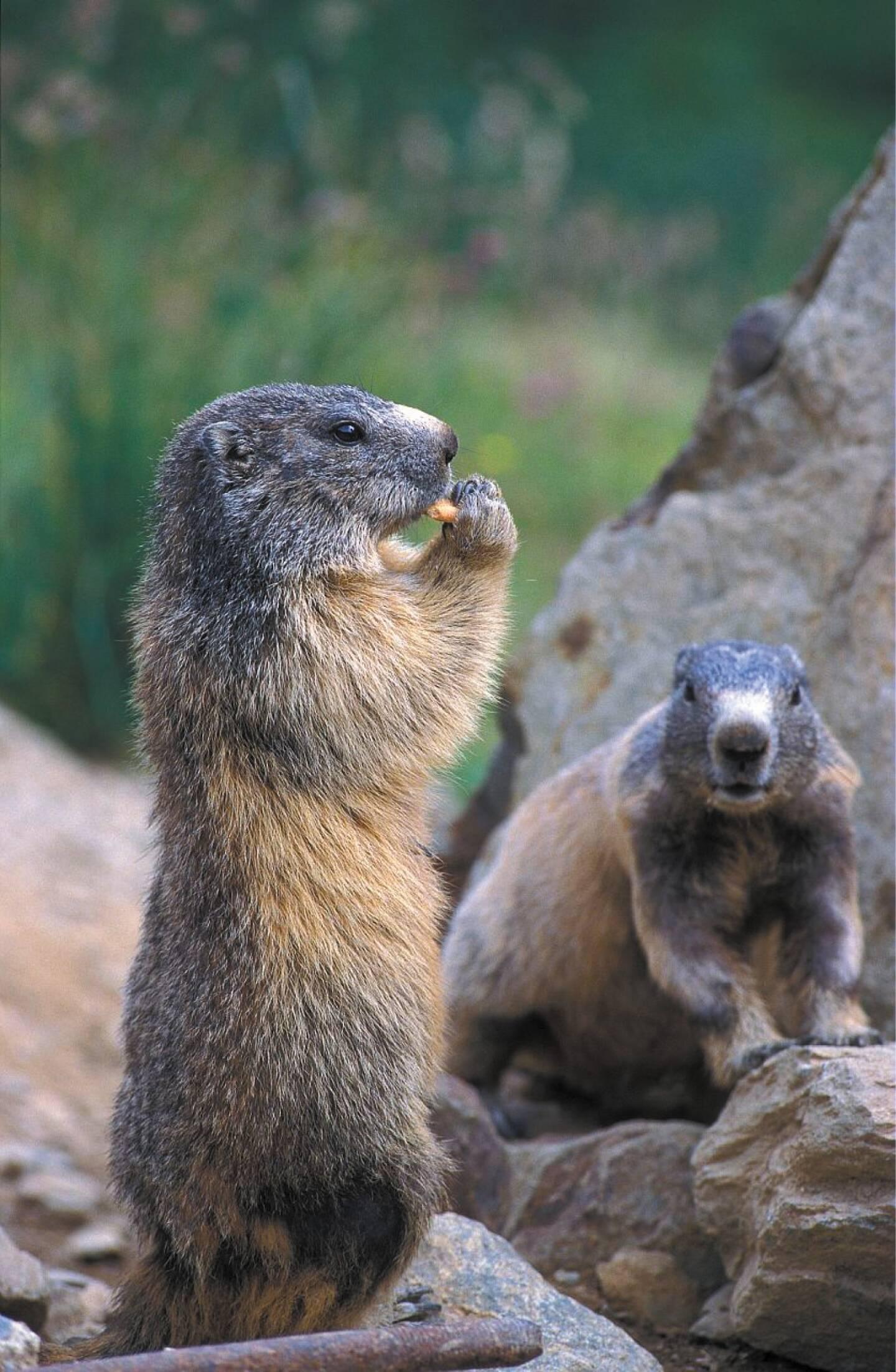 La marmotte est la mascotte des alpages, c'est aussi un animal chassable.