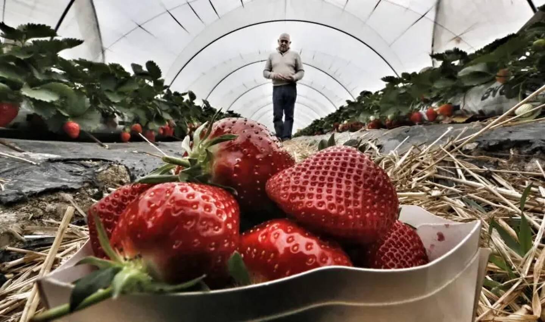 Les producteurs de carros et alentours preparent la fete de la fraise.