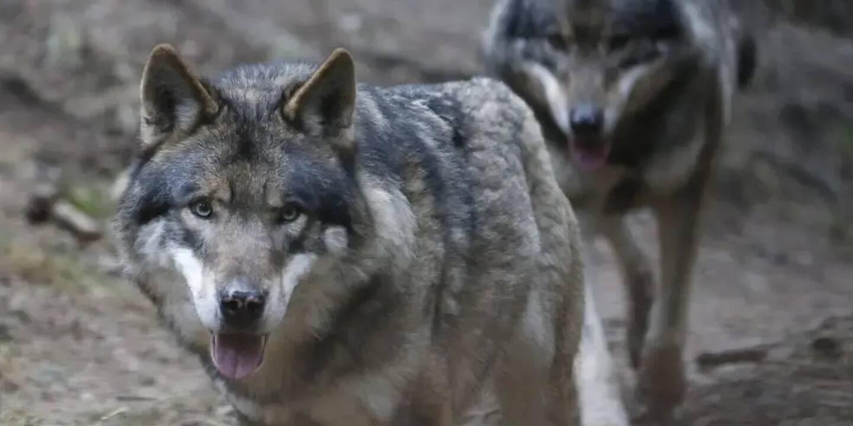 Douze meutes de loups ont été recensées dans le Var.