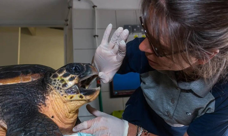 Le centre de réhabilitation de la faune sauvage, situé au Cap d'Antibes, a pris en charge, Emilie, une tortue caouanne de 22 kg, retrouvée en difficulté dans le Var.