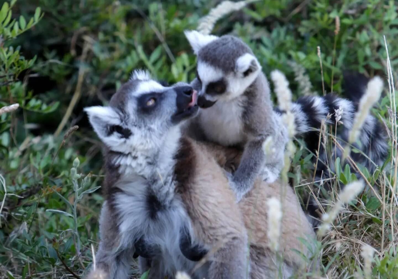 Des lémuriens de Madagascar au parc zoologique de Fréjus.